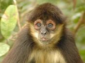 Fotos de Macaco-aranha 5
