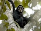 Fotos de Macaco-aranha 6