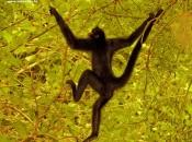 Fotos de Macaco-aranha 7