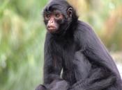 Fotos de Macaco-aranha 8