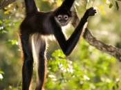 Fotos de Macaco-aranha 9