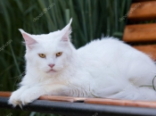 Maine Coon 8