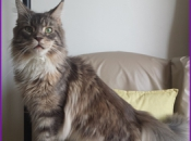 Maine Coon 13
