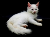 Maine Coon 14