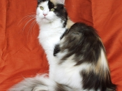 Maine Coon 19