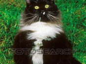 Maine Coon 20