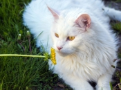 Maine Coon 23