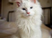 Maine Coon 4