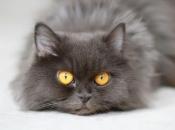 Olhos dos Felinos 1