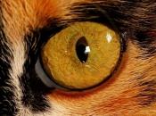 Olhos dos Felinos 4
