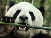 Panda-Gigante Comendo 1