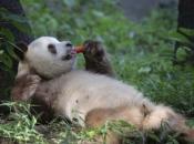 Panda-Gigante Comendo 2