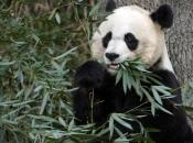 Panda-Gigante Comendo 3