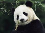 Panda-Gigante Comendo 5