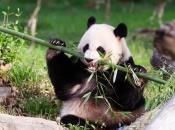 Panda-Gigante Comendo 6