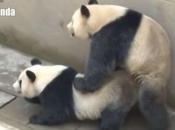 Panda-Gigante Se Acasalando 1
