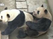 Panda-Gigante Se Acasalando 2