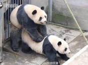 Panda-Gigante Se Acasalando 3