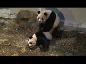 Panda-Gigante Se Acasalando 4