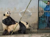 Panda-Gigante Se Acasalando 5