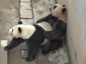 Panda-Gigante Se Acasalando 6