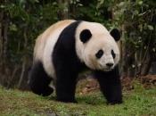 Panda Gigante 2