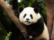 Panda Gigante 4