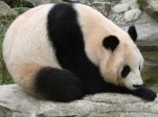 Panda Gigante 6