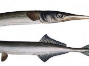 Peixe agulha 4