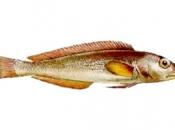 Peixe Namorado 1