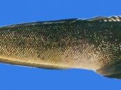 Peixe Namorado 3