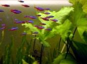 Peixe Neon Cardinal 13
