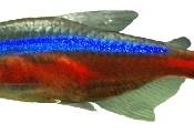 Peixe Neon Cardinal 15