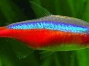 Peixe Neon Cardinal 2