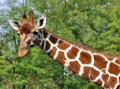 Pescoço da Girafa 1