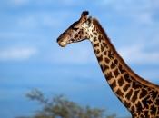 Pescoço da Girafa 2