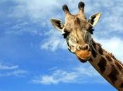 Pescoço da Girafa 3