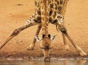 Pescoço da Girafa 4
