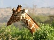 Pescoço da Girafa 5