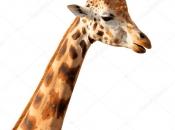 Pescoço da Girafa 6