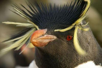 Pinguim-das-Snares 2