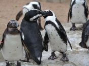 Pinguim do Cabo ou Africano 10
