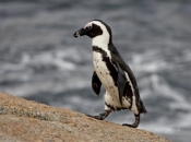 Pinguim do Cabo ou Africano 4