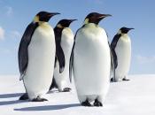 Pinguim 1