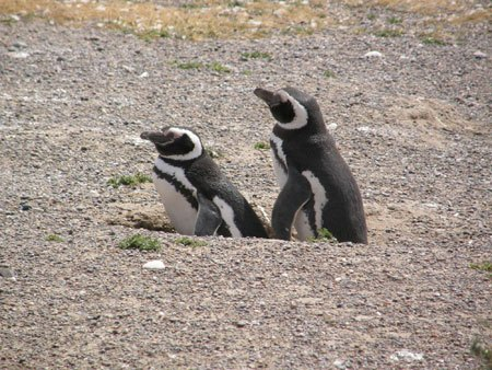 Pinguins se Acasalando 4