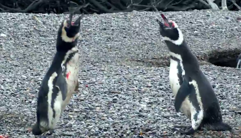 Pinguins se Acasalando 5