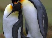 Pinguins se Acasalando 1