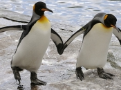 Pinguins se Acasalando 3