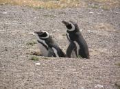 Pinguins se Acasalando 4