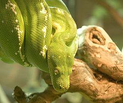 Píton-Verde-Arborícola 2